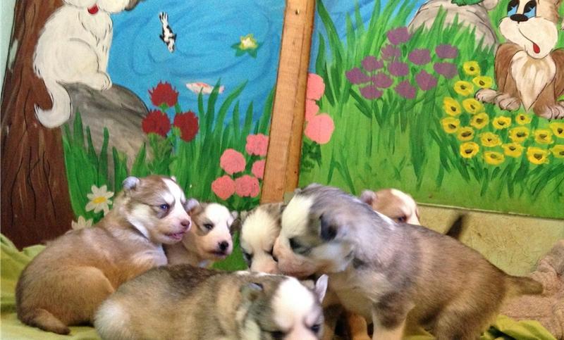 We have CUTE S.I.B.E.R.I.A.N .U.S.K.Y Puppies (469) 333-7625 :???