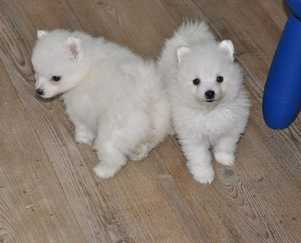 Available Male and Female Japanese Spitz Now Ready