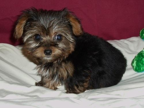 ?Y.o.R.k.i.e P.upp.i.e.s For F.r.e.e, (573 402 1990/Ready Now 12 Weeks Old