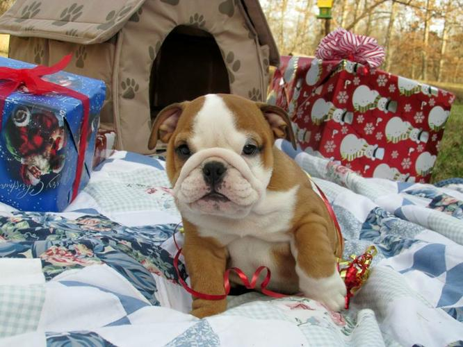 # ??? Quality E.N.G.L.I.S.H B.U.L.L.D.O.G Puppies:....??? (317) x643 x0215
