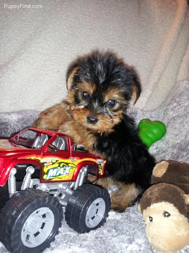 ???TEXTME NOW ON (310) 596-2260  Sweet Looking Teacup Yorkies Puppies ready