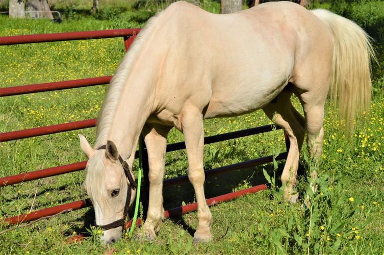 ***Grade Quarter Horse Gelding***