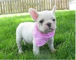 Free Healthy French Bulldong Puppies@........w4
