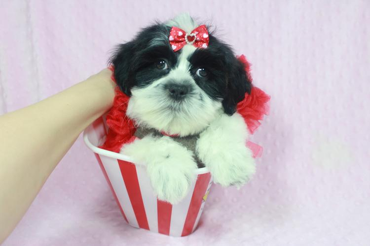 Gorgeous Malshi puppies available in Las Vegas!