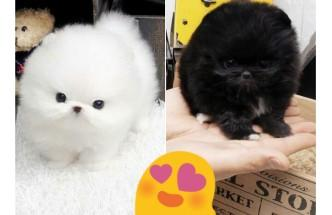 Pomeranianss Puppies Available (240) 54274 87