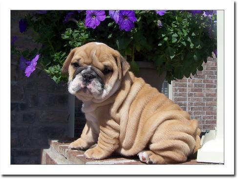 Affectionate M/F English B.u.l.l.d.o.g Puppies!!!(469) 364-4760