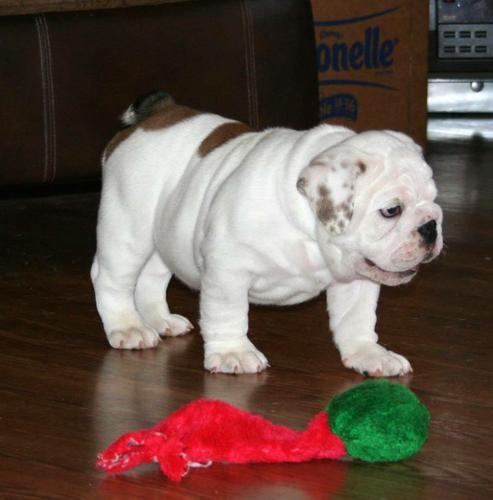?E.n.gl.is.h B.u.ll.d.og P.upp.i.e.s , Ready Now 12 Weeks Old(mrsjessica18@gmail.com)