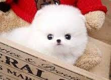 !!Male and Female Pomeranianss Puppies Available (248) 564-7836