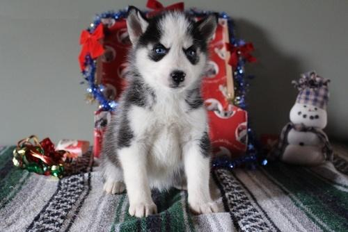 Quality siberians huskys Puppies: contact us at (240) 671-0522