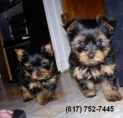 ?Y.o.R.k.i.e P.upp.i.e.s For F.r.e.e, Ready Now 12 Weeks Old # contact 754 202 5351