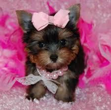 beautiful and Cute T.E.A.C.-U.-P. Y.O.R.K.I.E.((678) 631-9571
