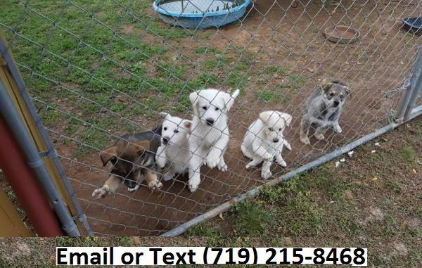 CUTE S.i.b.e.r.i.a.n H.u.s.k.y. Puppies: S.M.S us at.(410) 424-6477