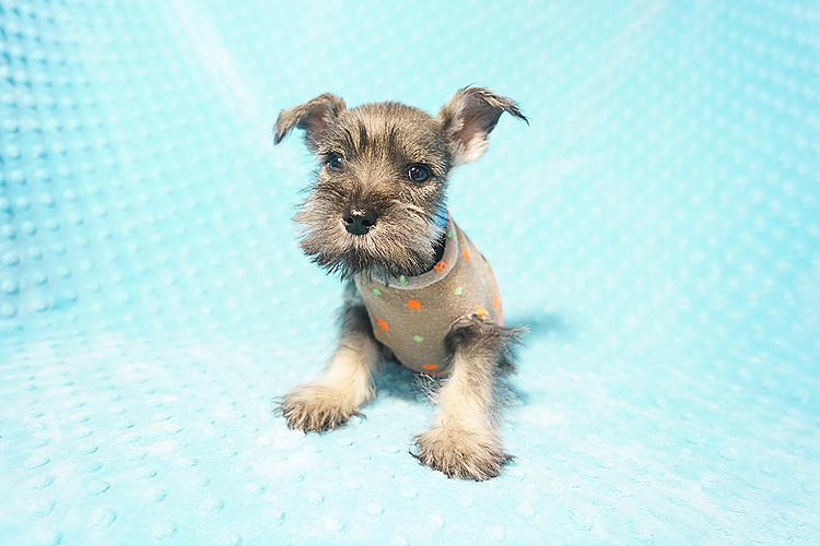 Weezer - Mini Schnauzer Puppy In Los Angeles
