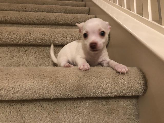 "Sweet ACA Chihuahua Puppy - White Male Baby ""Rocky"""
