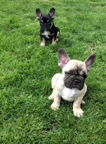 Cute Male And Female F.r.e.n.c.h B.u.l.l.d.o.g. P.u.p.p.i.e.s for good homes