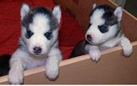 Blue Eyes male and female Siberi.a.n hus.k.y Pu.ppies for good home (443) 453-5711
