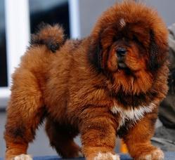 Tibetan Mastiff~~P.u.p.p.i.e.s TEXT........(804) 829-0275