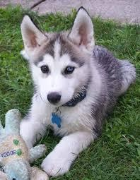 Free Blue Eyes G.orgeous Pu.ppies Not For Sell Free) Need Home