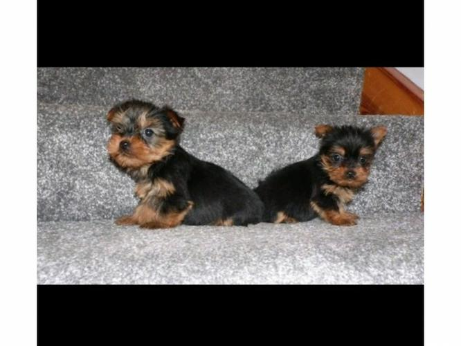 Y.o.R.k.i.e P.upp.i.e.s For F.r.e.e, Ready Now 3 months Old # 614 398 1471