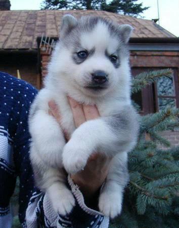 well trained huskyss puppiess