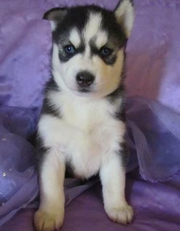 Beautifull huskysss puppiess