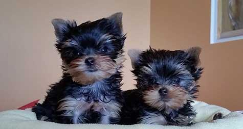 Pretty Female and Male TeaCup Y.O.R.K.I.E puppies