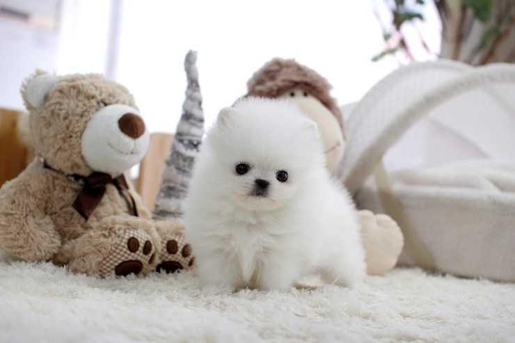 Tiny Toy Pom'ss with GREAT personalities!!!!