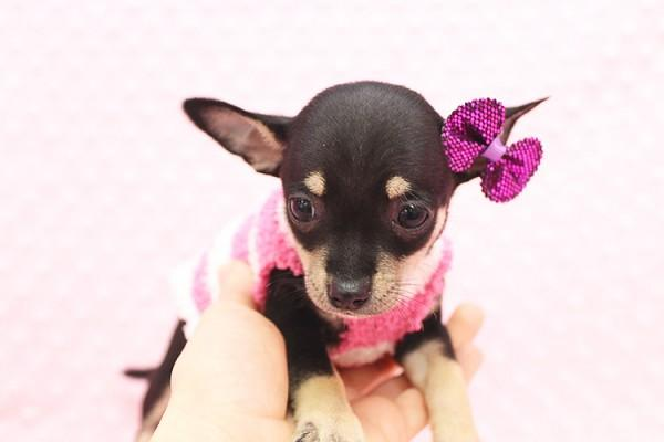 cutest Teacup Chihuahua puppy