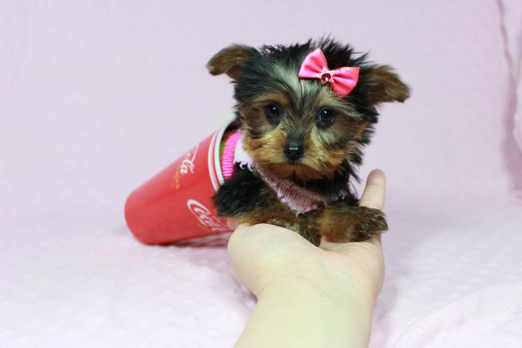 Teacup and Toy Puppies in Las Vegas, Nevada!