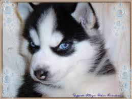Top Quality Siberiann Huskyy puppies avail!Send .text for more infors (470) 204-1675
