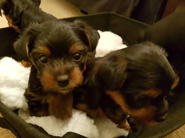 Quality Teacup Yorkies Puppies:762)435-3892
