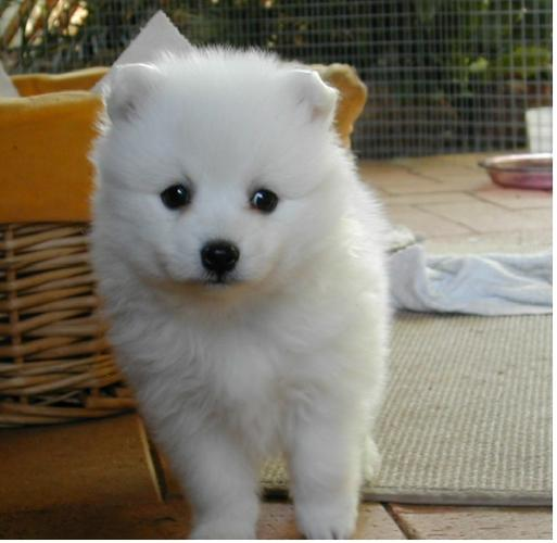 Two Gorgeous J.a.p.a.n.e.s.e   s.p.i.t.z  Puppies Available-..,.-