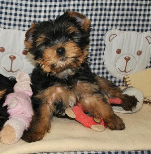 Stunning Fawn Yorkie Puppies