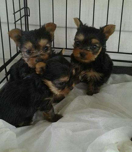 They are AKC Registered