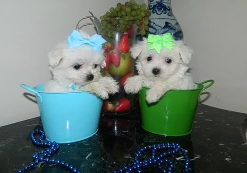 We have Maltese Puppies For Sale now