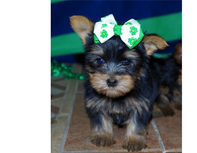 ???? Excellent. Trained?? FREE... ????Tea-cuP????Yorkies????Pu.ppies ??? (815 317 4959