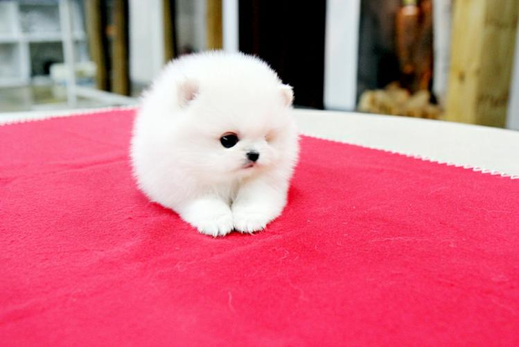 Gorgeous P. o .m. e. r. a. n. i. a. n  Puppie.s for sale(409)420-7820