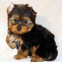 CUTIE T.E.A.C.U.P Y.O.R.K.I.E Puppies: contact us at(302)400-4672