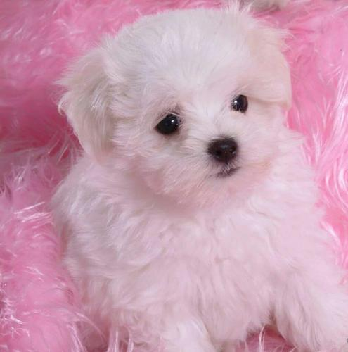 wonderful active Maltese puppies for adoption (941)4171119.