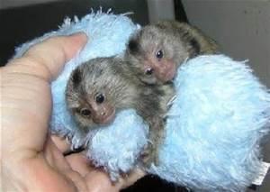 Male and Female Home trained marmoset Monkeys  (772) 932-9568