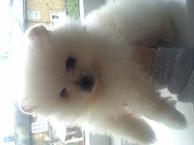 Fantastic Female and Male P.o.m.e.r.a.n.i.a.n puppies for new home