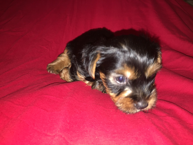 Purebred male and female Yorkie pup.p.i.es......