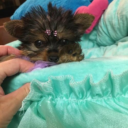 Cute Y.O.R.K.I.E Puppie.s (573) 213-6001