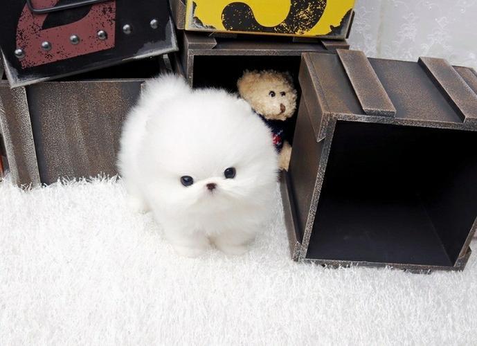 Quality Mini P.o.m.e.r.a.n.i.a.n puppies!! (614) 859-0647