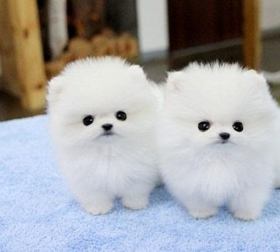 Affectionate M/F P.o.m.e.r.a.n.i.a.n Puppies!!!