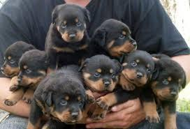 *Top Quality Female and Male R.o.t.t.w.e.i.l.e.r puppies (719) 982-8517**