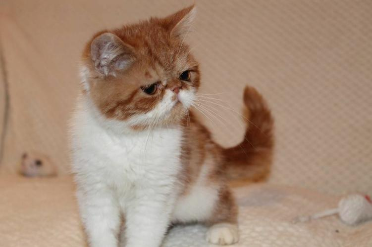 Adorable pedigree persian kittens for rehoming