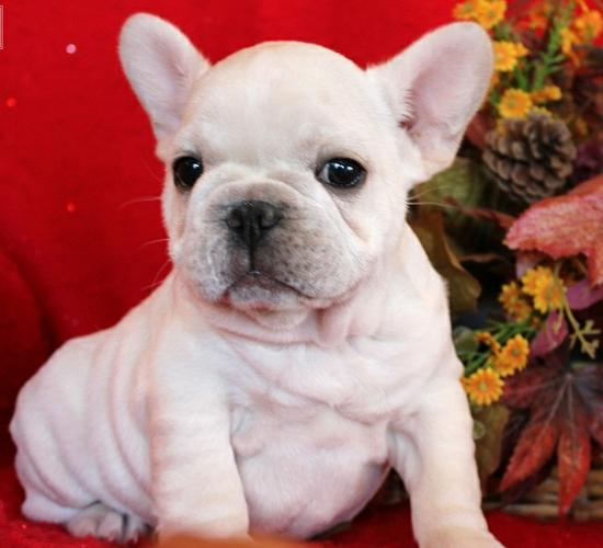 Gorgeous French Bulldoggs Pu.ppies ) Need Hom (281)-306-1578.