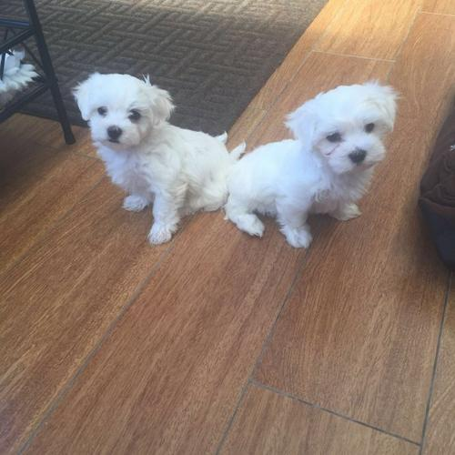 Lovely Home Raised Maltese Puppies