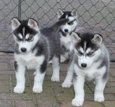 Quality siberians huskys Puppies:contact us at (662) 608-3648